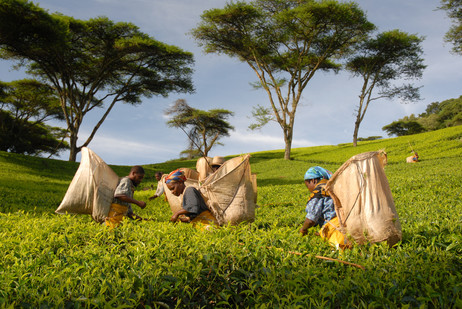 Shire Highlands - Home to the revered Malawian black tea