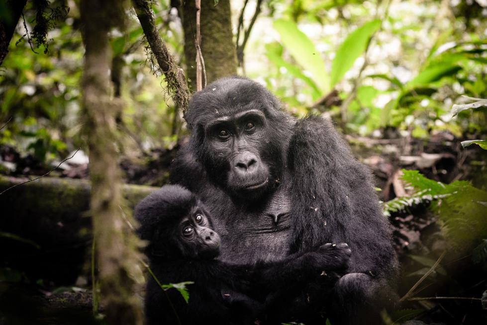 Track the mountain gorillas of Bwindi Impenetrable