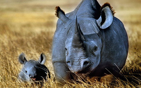 A healthy population of the endangered black rhino