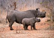 Africa_rhino pair921.jpg