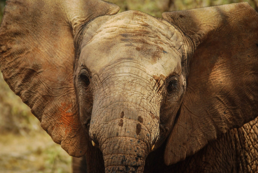 "The ""Green Corridor"" of wildlife in Amboseli & Tsavo National Parks"