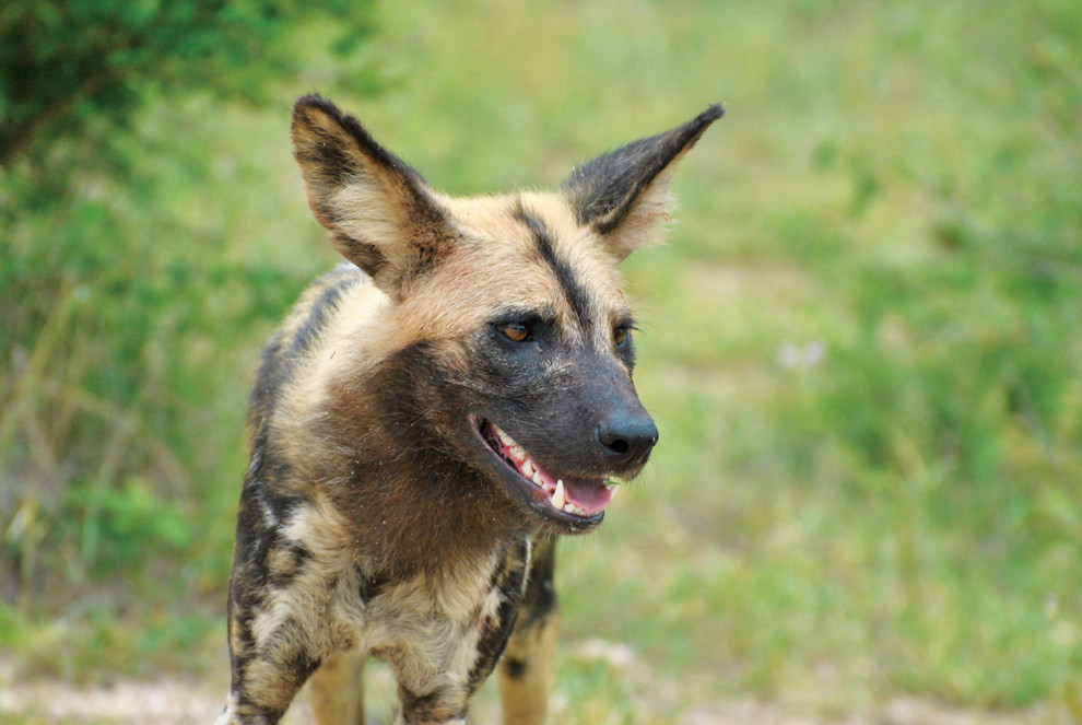 The largest packs of African wild dogs in South Africa