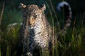 Leopard-portrait-Kenya-Masai-Mara-Rekero