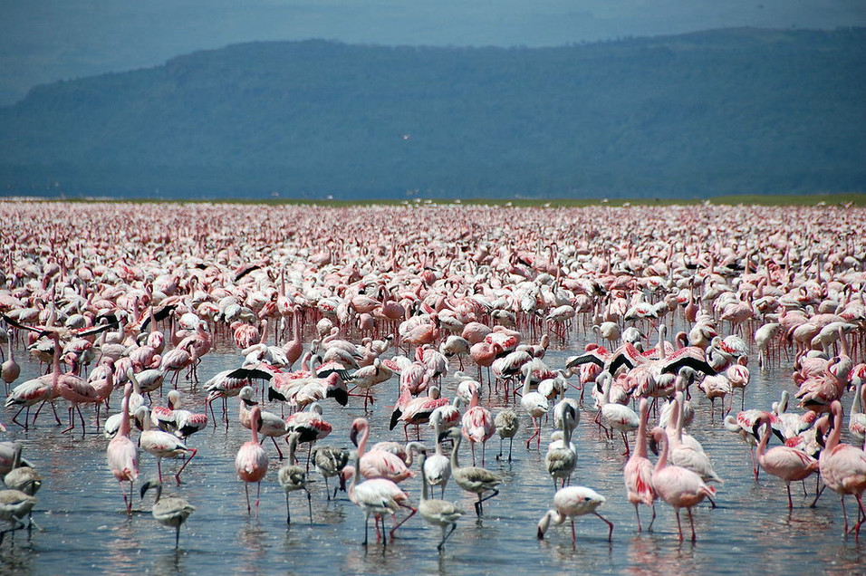 Witness the largest flamboyance of flamingos in Africa