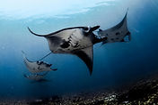Manta-Rays-Komodo-National-Park.jpg