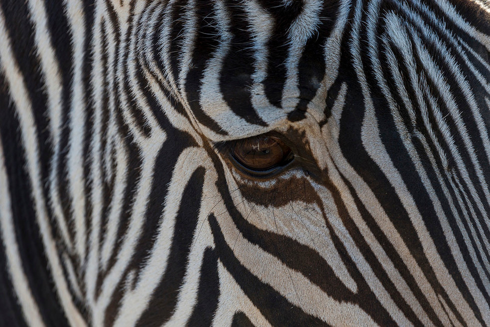 The single largest population of Grevy's zebra in the world