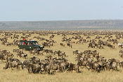 Migration-arrives-Masai-Mara.JPG
