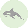 Orca whale icon.png