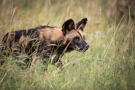 Last refuge in Kenya for the African wild dogs