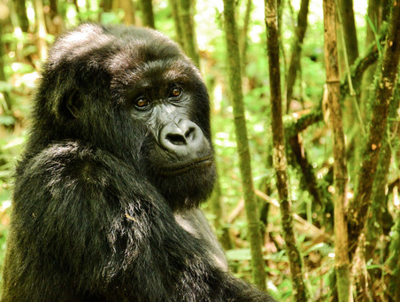 An inspiring track to come face to face with the Mountain Gorillas