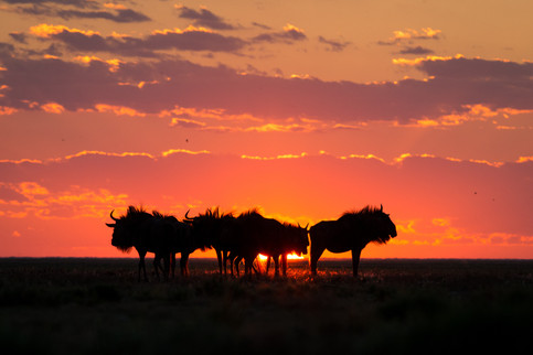"The ""Secret Wildebeest Migration"" - second-largest congregation of wildebeest and zebras in Africa"