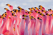 1200px-Flamingos_Partying.jpg