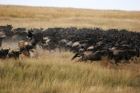Follow the wildebeest megaherd's incredible journey from the Serengeti