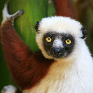Marvel at more than 101 lemur species