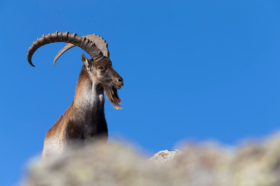 Unique wildlife such as the Walia ibex and the Gelada baboon