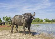 Morahalom Buffalo Conservation.jpg