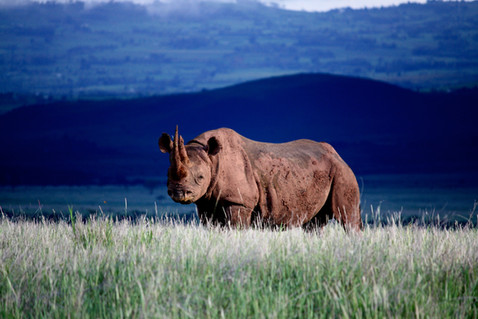 A healthy population of both black and white rhinos