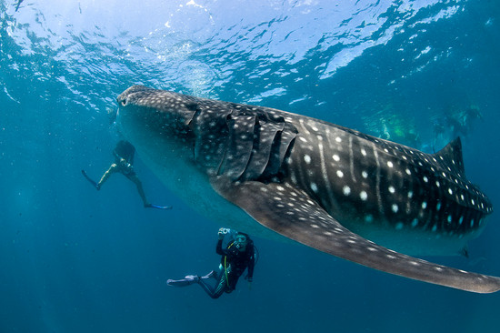 One of the premier diving sites in the world in the migration hotspot for the whale shark