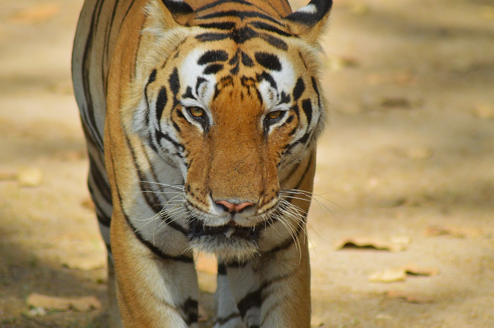1200px-Eye_contact_with_the_tiger_-_Kanh