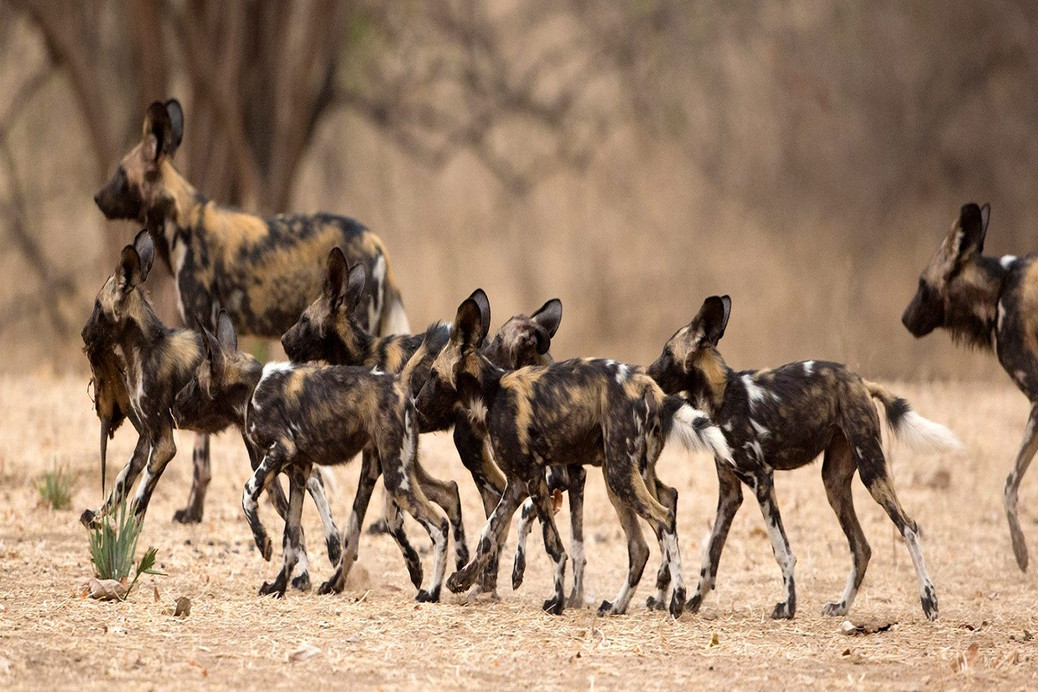 One of Africa's largest population of African wild dogs