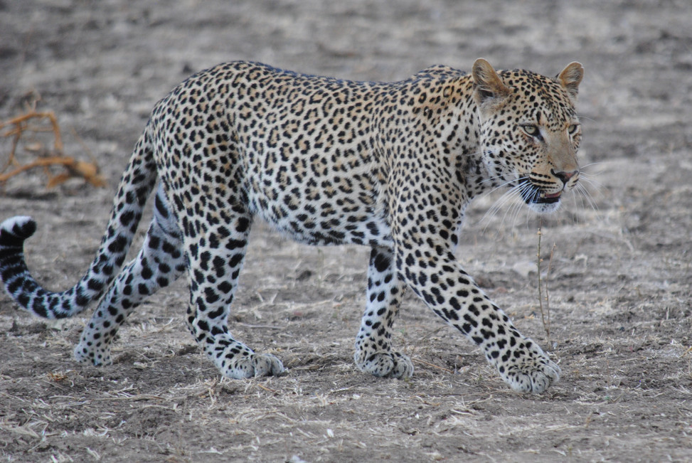Leopard Kingdom - home to some of the largest leopard population in the world