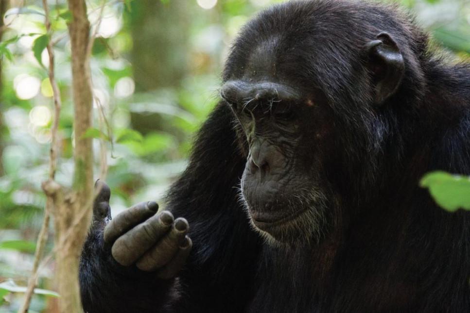 A chimpanzee community of more than 1,000