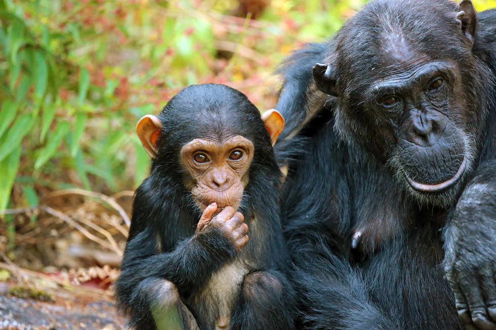 Chimpanzee tracking - an in-depth insight into human's closest relative