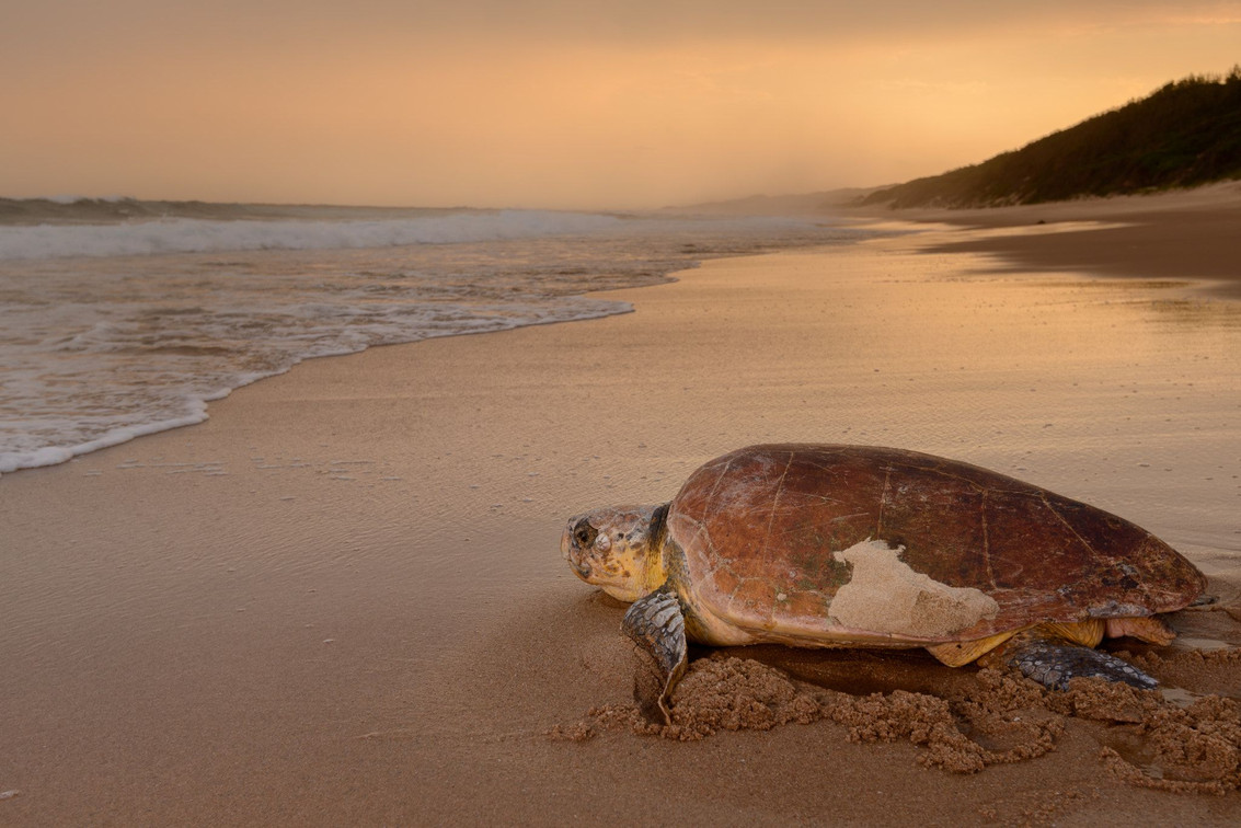 Learn about the turtle conservation program at iSimangaliso Wetland Park
