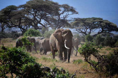 One of the strongest herds of elephants in Africa