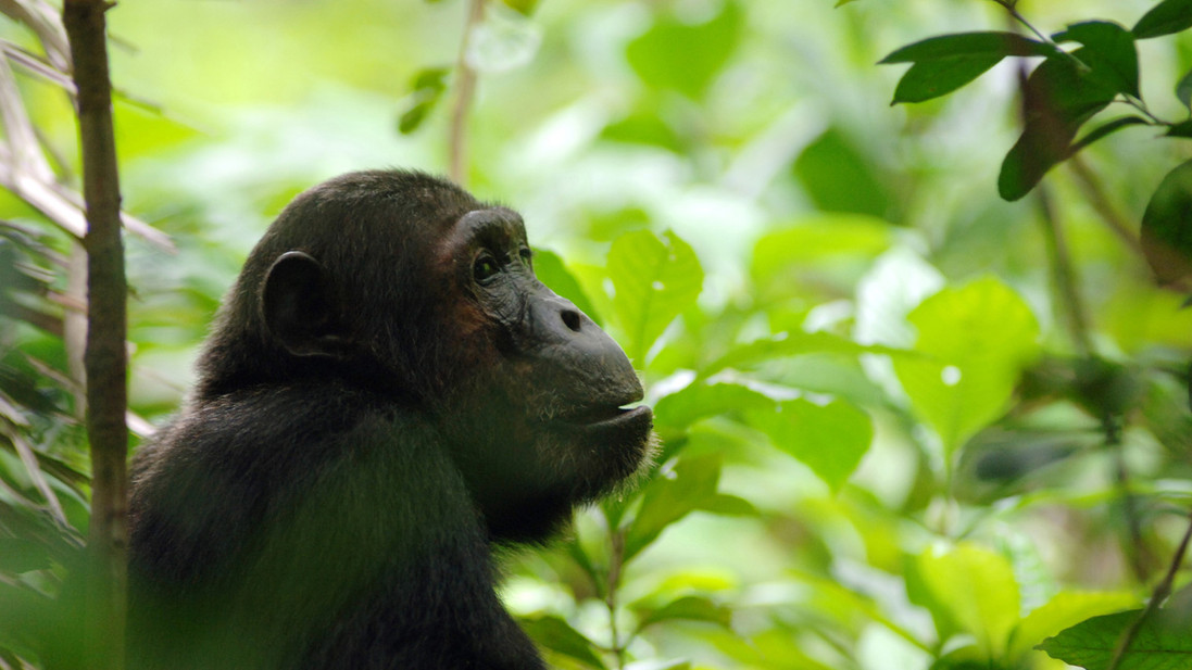 Tracking chimpanzees - man's closest relatives