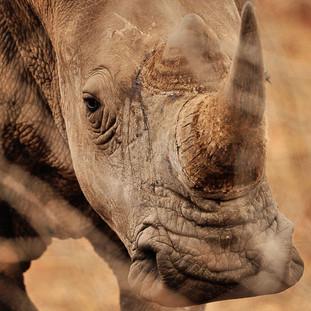 Rhino tracking in Malilangwe Wildlife Reserve