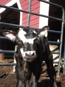 Walpole Valley Farms Welcomes First Calf of 2010!
