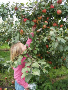 Young blonde girl reaching to pick her own fresh apples at Alyson's Orchard in Walpole, NH