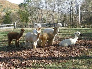 Alpaca Shearing Day at Crescendo Acres Farm