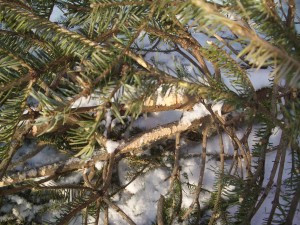 Christmas tree lying on its side showing branches with green needles as well as teeth maks on the trunk made by goats.