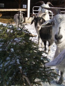 Black and silver goats standing near a Christmas tree on its side, ready to eat it.