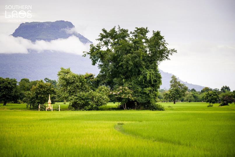 rice field 3.jpg