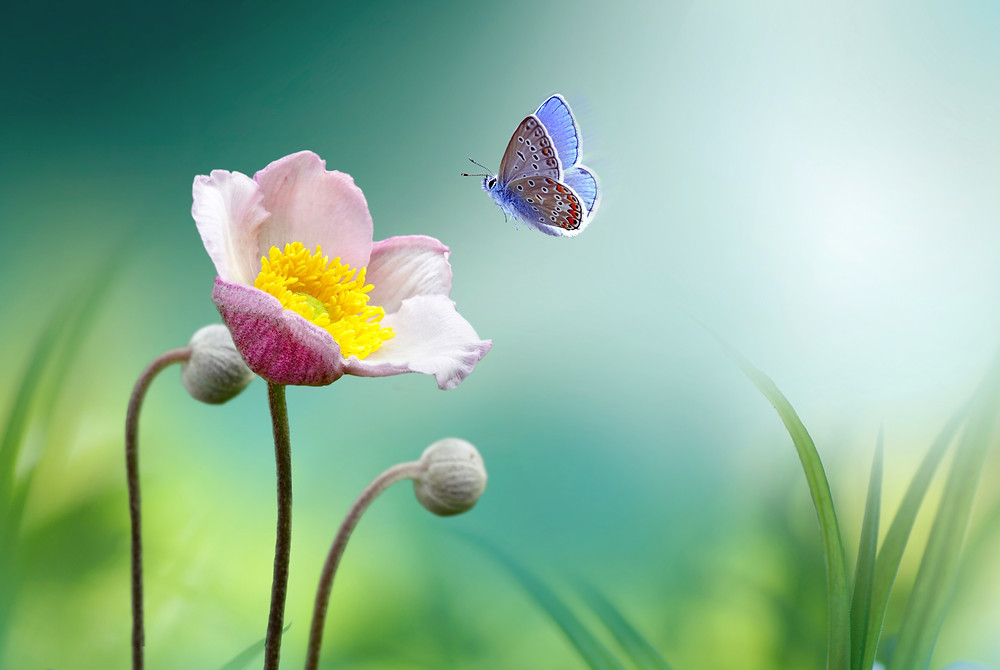 A beautiful butterfly approaching a flower
