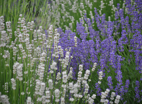 How to Grow Lavender: Growing Lavender in Every Climate