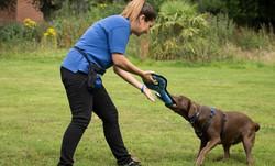 Kirsten training Domino the Labrador