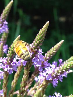 wing dance apiary cheshire ct
