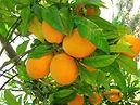 verse-sinasappels.jpg