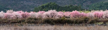 bloeiende-amandelboomgaard.jpg