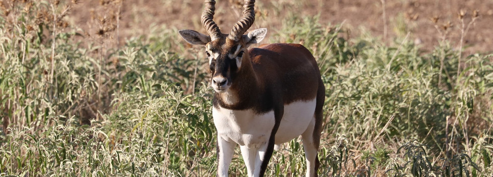 Blackbuck50.jpg