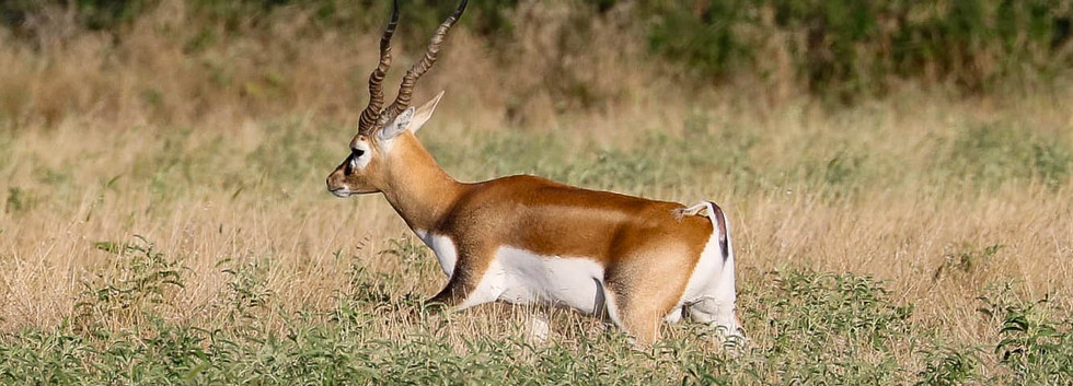 blackbuck3 (1 of 1).jpg