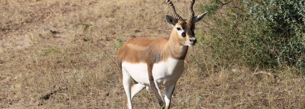 blackbuck52.jpg