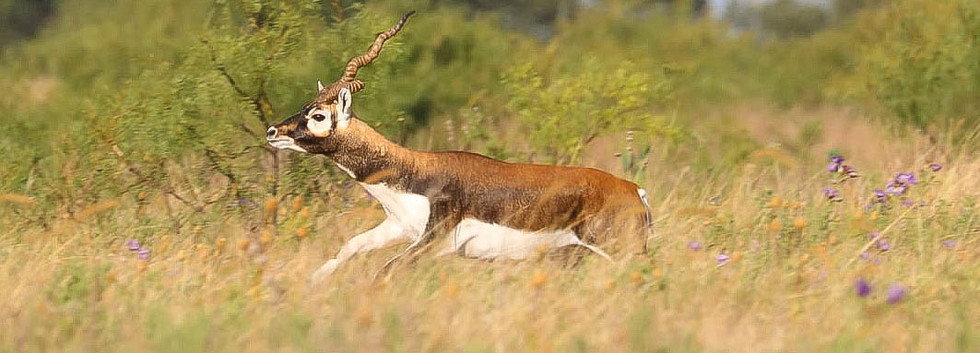 blackbuck1 (1 of 1).jpg