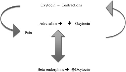 oxytocin, adrenaline, pain, endorphin cycle, pregnancy and labour process