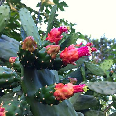 Cactus Palma.png