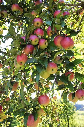 Apfelbaum2.jpg